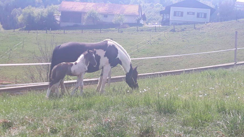 Pferd mit Fohlen auf Wiese